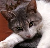 Sight of cat. The cat lies has a rest and looks forward Royalty Free Stock Photo