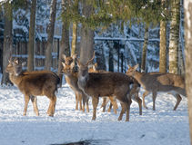 Sight of a deer. The herd of deer eats in national russian park Stock Images