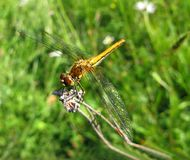 Sight of a dragonfly Royalty Free Stock Photography