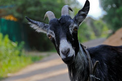 Sight of a goat Royalty Free Stock Photography