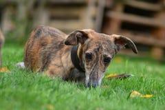 Sight-Hound Pup Stock Photo