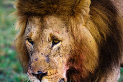 The sight of a lion. Kenya Royalty Free Stock Photography
