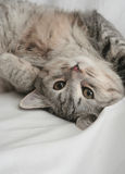 Sight Of A Small Grey Kitten Stock Image