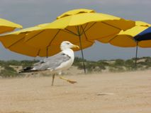 A seagull is walking along the beach. A sight of a seagull walking along the sand against the background of umbrellas Royalty Free Stock Images