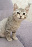 Sight of a small grey kitten Royalty Free Stock Photography