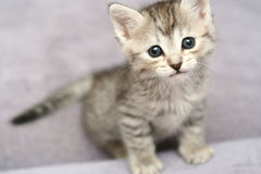 Sight of a small grey kitten Royalty Free Stock Images
