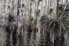 Swamp in the Everglades with air plants Royalty Free Stock Photos