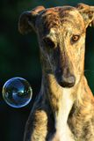 Sighthound Lizenzfreies Stockbild