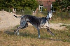 Sighthound in bianco e nero felice Fotografie Stock
