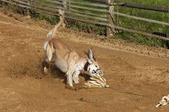Sighthound de Saluki que coge el cebo en un circuito de carreras fotos de archivo libres de regalías