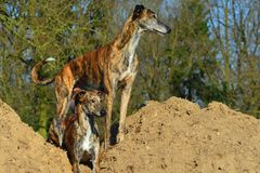 Sighthound duett Arkivfoton
