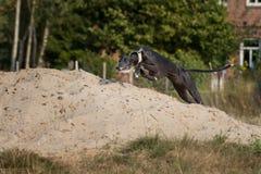 Sighthound nero che salta sopra un Sandhill Fotografie Stock Libere da Diritti