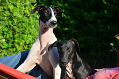 Sighthound puppies royalty free stock photography