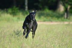 Sighthound que corre para o divertimento Fotos de Stock