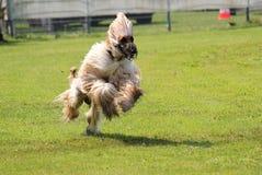 Sighthound race Stock Images