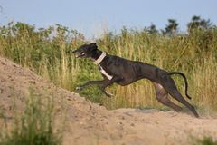 Sighthound running for fun Stock Photography