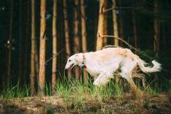 Sighthound ruso blanco del galgo ruso, perro de caza del gazehound, corriendo fotografía de archivo libre de regalías