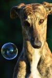 Sighthound Royalty Free Stock Image