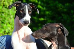 Sighthound-Welpen Stockbilder