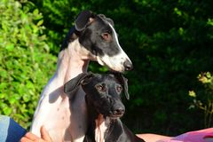 Sighthound-Welpen Stockbild