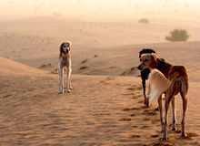 Sighthounds, Salukis在阿拉伯沙漠 库存图片