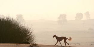 Sighthounds, Salukis在阿拉伯沙漠 免版税库存图片