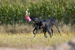 2 sighthounds играют с игрушкой плюша Стоковая Фотография RF