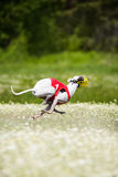 Sighthounds lure coursing competition. At chamomile field Royalty Free Stock Image