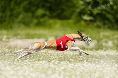 Sighthounds lure coursing competition. At chamomile field Stock Image