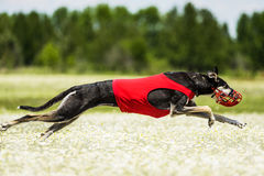 Sighthounds lure coursing competition. At chamomile field Royalty Free Stock Photography