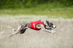 Sighthounds lure coursing competition. At the field Stock Photography