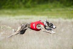 Sighthounds nęcenia goniąca rywalizacja Fotografia Stock