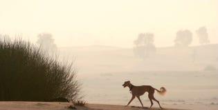 Sighthounds, Salukis in de Arabische Woestijn Royalty-vrije Stock Afbeelding