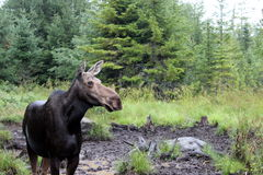 Sighting of moose Royalty Free Stock Photo
