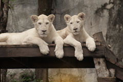 Sighting of a white lion. Royalty Free Stock Photo