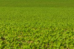 Sights of spring a field of soybean plants across land stock photo