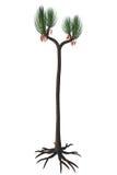 Sigillaria scutellata Tree Stock Photography