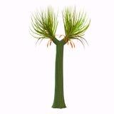Sigillaria Tree Stock Photos