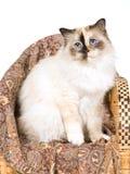Sigilli il gatto di Tortie Birman sulla presidenza di bambù tessuta Fotografie Stock Libere da Diritti
