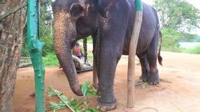 SIGIRIYA, SRI LANKA - FEBRUAR 2014: Ansicht eines Elefanten, der Anlagen in Sigiriya isst Diese alten Elefanten sind von Klotz wo stock video