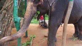 SIGIRIYA, SRI LANKA - FEBRUAR 2014: Ansicht eines Elefanten, der Anlagen in Sigiriya isst Diese alten Elefanten sind von Klotz wo stock video footage