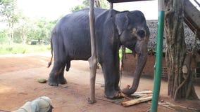 SIGIRIYA, SRI LANKA - FEBRUAR 2014: Ansicht eines Elefanten, der Bananenstamm in Sigiriya isst Diese alten Elefanten sind vom Klo stock video