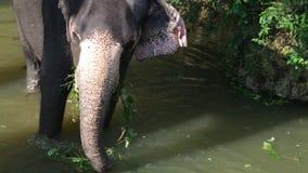 SIGIRIYA, SRI LANKA - FEBRUAR 2014: Ansicht eines Elefanten, der in einem Strom steht und Anlage isst Itï-¿ ½ s Handelsbrauch zu  stock video