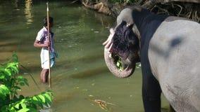 SIGIRIYA, SRI LANKA - FEBRUAR 2014: Ansicht eines Elefanten, der in einem Strom steht und Anlagen isst Itï-¿ ½ s Handelsbrauch zu stock video footage