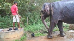 SIGIRIYA, SRI LANKA - FEBRUAR 2014: Bemannen Sie das Geben Elefanten etwas Wassers von einem Brunnen Diese alten Arbeitselefanten stock video footage