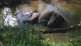 SIGIRIYA, SRI LANKA - FEBRUAR 2014: Elefant, der in einem Strom in Sigiriya badet Diese alten Elefanten sind vom Klotzarbeiten im stock video