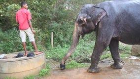 SIGIRIYA, SRI LANKA - FEBRUAR 2014: Elefant, der mit Wasser sich spritzt Diese alten Arbeitselefanten ziehen sich zum Arbeiten mi stock video footage