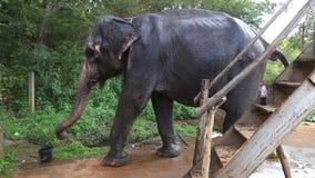 SIGIRIYA, SRI LANKA - FEBRUAR 2014: Elefant, der mit Wasser in Sigiriya sich erneuert Diese alten Elefanten sind von Klotz w im R stock footage
