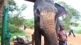 SIGIRIYA, SRI LANKA - FEBRUAR 2014: Elefant, der in Sigiriya isst Diese alten Elefanten sind von der Klotzfunktion und von umgewa stock video footage