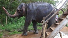 SIGIRIYA, SRI LANKA - FEBRUAR 2014: Elefant in Sigiriya Diese alten Elefanten sind von der Klotzfunktion im Ruhestand und gewande stock footage